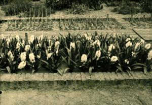 schip_van_blaauw_hyacinthen